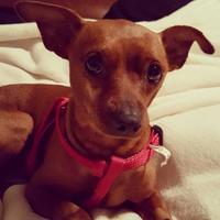 Adopt A Pet :: Pretzle - Round Lake Beach, IL