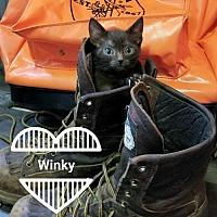 Adopt A Pet :: Winky - Chandler, AZ