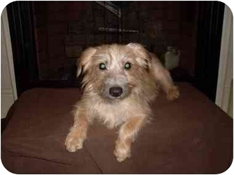 Yorkie, Yorkshire Terrier Mix Dog for adoption in Rochester, New Hampshire - Mango Adopted