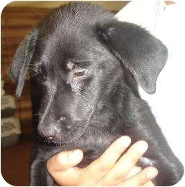 Labrador Retriever Mix Puppy for adoption in Old Bridge, New Jersey - Apple