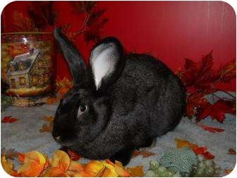 Flemish Giant Mix for adoption in Roseville, California - Danny