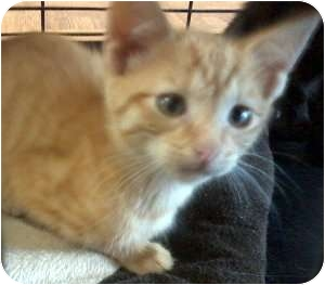 Domestic Shorthair Kitten for adoption in Jacksonville, Florida - Riley