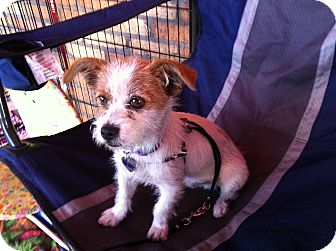 Terrier (Unknown Type, Small) Mix Puppy for adoption in North Hollywood, California - Newton