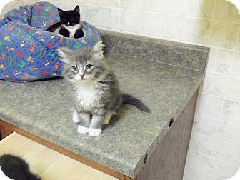 Domestic Longhair Kitten for adoption in Brookings, South Dakota - Misty