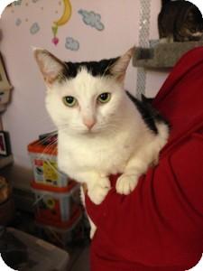 Domestic Shorthair Cat for adoption in Medford, Massachusetts - Samantha