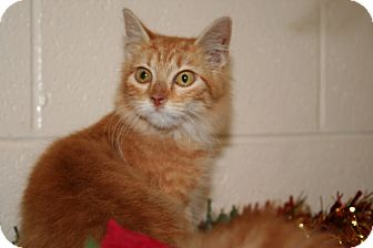 Persian Cat for adoption in Hagerstown, Maryland - Garland