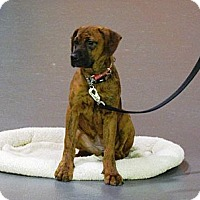 Adopt A Pet :: Ginger - Burr Ridge, IL