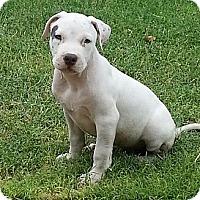 Adopt A Pet :: Oso - Phoenix, AZ