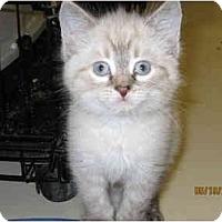 Adopt A Pet :: Lamb Chop - Catasauqua, PA