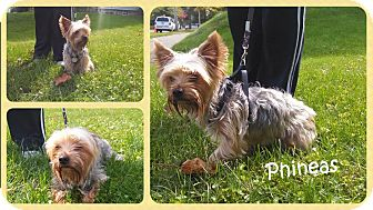 Yorkie, Yorkshire Terrier Dog for adoption in DOVER, Ohio - Phineas- Adoption Pending
