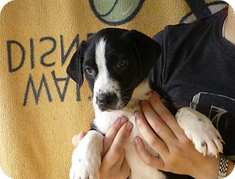 Border Collie/Labrador Retriever Mix Puppy for adoption in Oviedo, Florida - Jack