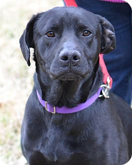 Labrador Retriever Mix Dog for adoption in Cherry Hill, New Jersey - Bonner