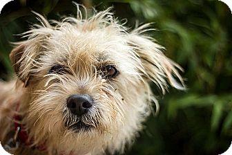 Cairn Terrier Dog for adoption in Berkeley, California - Fagin