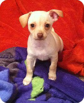 Chihuahua/Dachshund Mix Puppy for adoption in Columbus, Nebraska - Ginger