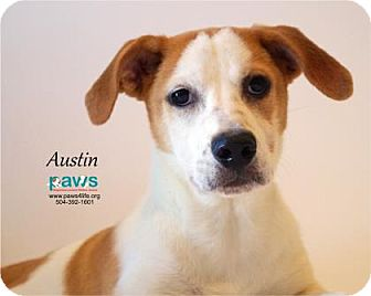 Australian Cattle Dog Mix Dog for adoption in Belle Chasse, Louisiana - Austin