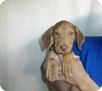 Beagle/Coonhound Mix Puppy for adoption in Oviedo, Florida - Olivia