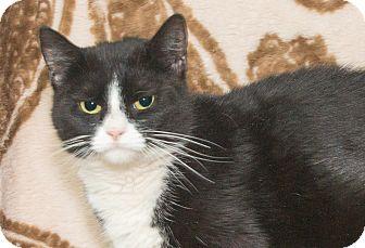 Domestic Shorthair Cat for adoption in Elmwood Park, New Jersey - Paris