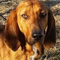 Redbone Coonhound Mix Dog for adoption in Silver Spring, Maryland - Poe Dameron