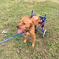 Terrier (Unknown Type, Medium) Mix Dog for adoption in Key Biscayne, Florida - Pluto