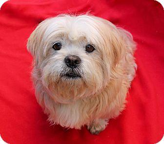 Lhasa Apso/Havanese Mix Dog for adoption in Irvine, California - Ollie