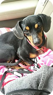 Dachshund Dog for adoption in Greensburg, Pennsylvania - Squirt