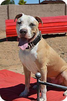American Pit Bull Terrier/American Bulldog Mix Dog for adoption in Phoenix, Arizona - Whopper~ Courtesy Post
