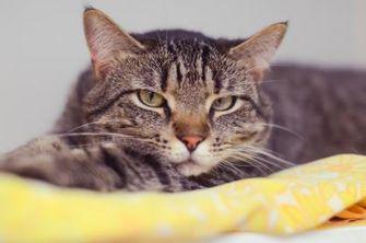 Domestic Shorthair/Domestic Shorthair Mix Cat for adoption in New Freedom, Pennsylvania - Sunshadow