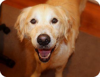 Golden Retriever Dog for adoption in Washington, D.C. - Clark Gable
