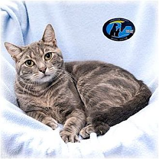 Domestic Shorthair Cat for adoption in Howell, Michigan - Willis