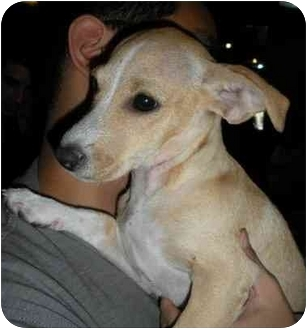 Terrier (Unknown Type, Small)/Jack Russell Terrier Mix Puppy for adoption in Encino, California - JADE
