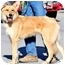 Photo 2 - Golden Retriever/Collie Mix Dog for adoption in Pawling, New York - LOGAN