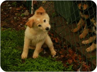 Collie/Golden Retriever Mix Puppy for adoption in Bedminster, New Jersey - Keiko