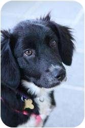 Border Collie/Corgi Mix Puppy for adoption in Richmond, Virginia - Maizy