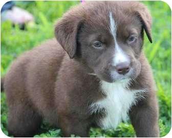 Border Collie/Labrador Retriever Mix Puppy for adoption in Yuba City, California - Wiloughby