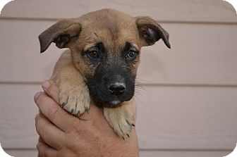 Shepherd (Unknown Type) Mix Puppy for adoption in Westminster, Colorado - Cody