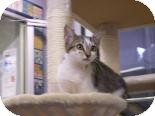 Domestic Shorthair Kitten for adoption in Franklin, Tennessee - Belle