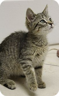 Domestic Shorthair Kitten for adoption in Chicago, Illinois - Willy