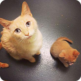 Siamese Cat for adoption in Chicago, Illinois - Sophia