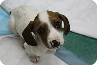 Dachshund Mix Puppy for adoption in Freeport, New York - Dale & Chip
