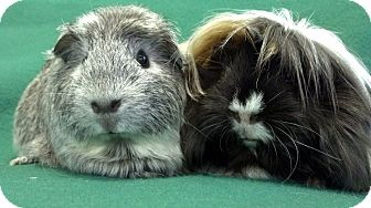Guinea Pig for adoption in Lewisville, Texas - Savannah and Baleigh