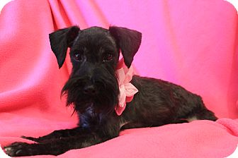 Schnauzer (Miniature) Dog for adoption in Wytheville, Virginia - Layla