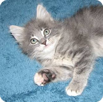 Maine Coon Kitten for adoption in Davis, California - Milady DeWinter