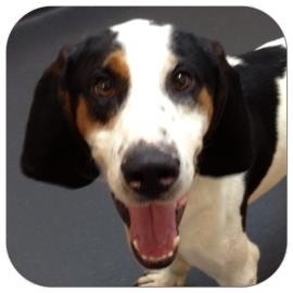 Coonhound Mix Dog for adoption in Ithaca, New York - Ben