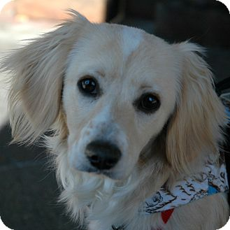 Cocker Spaniel/Spaniel (Unknown Type) Mix Puppy for adoption in Sacramento, California - Jamie