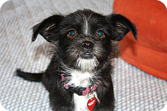 Brussels Griffon/Terrier (Unknown Type, Small) Mix Dog for adoption in Bellflower, California - Roxie-I do not shed!