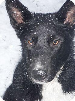 Karelian Bear Dog/Border Collie Mix Dog for adoption in Snoqualmie, Washington - Wanda
