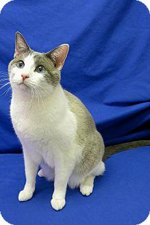 Siamese Cat for adoption in Buena Vista, Colorado - Dexter