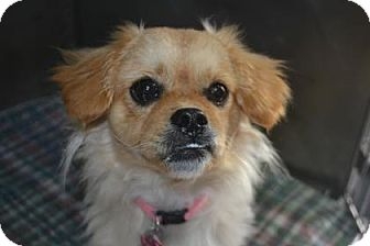 Pekingese Mix Dog for adoption in Edwardsville, Illinois - Piper