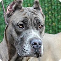 Adopt A Pet :: Xena - Port Washington, NY