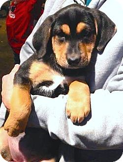 Hound (Unknown Type)/Greater Swiss Mountain Dog Mix Puppy for adoption in Westport, Connecticut - *Nabeela - PENDING